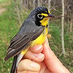 #7 - Canada warbler