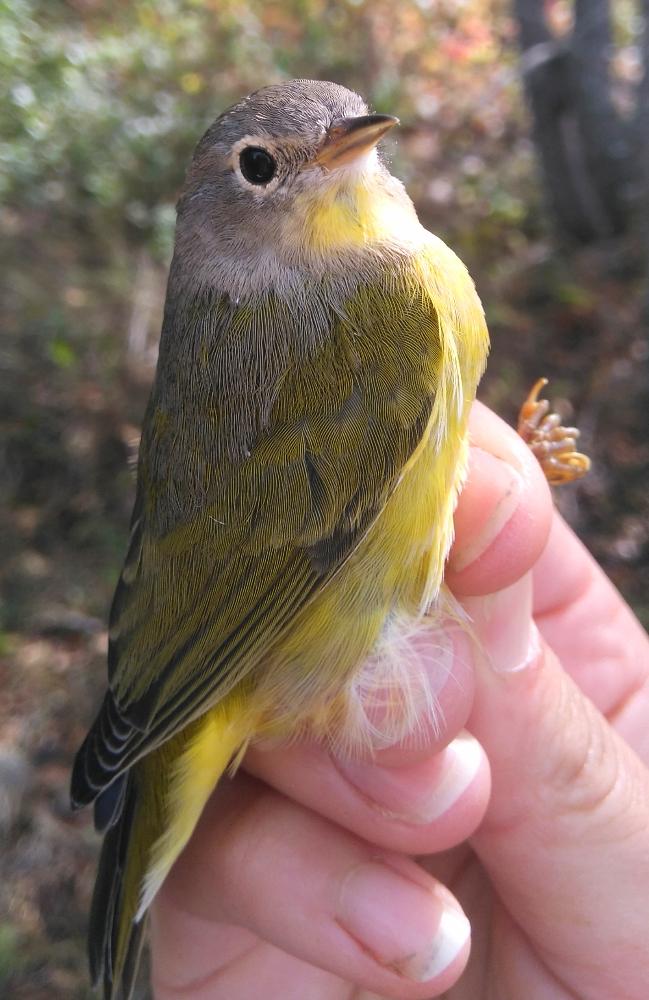 nashville-warbler
