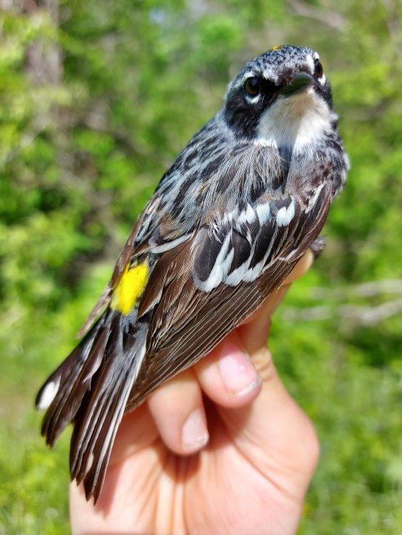 Myrtle Warbler in-hand